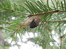 female douglas-fir tussock moth emerging from cocoon photo