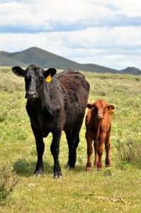 photo of a cow and calf